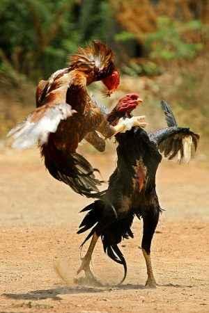 Cara Memenangkan Pertandingan Judi Sabung Ayam